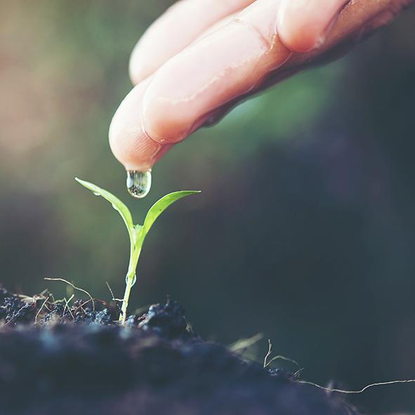 Aranea pflanze